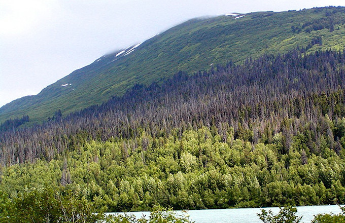 The dying white spruce of Kenai.