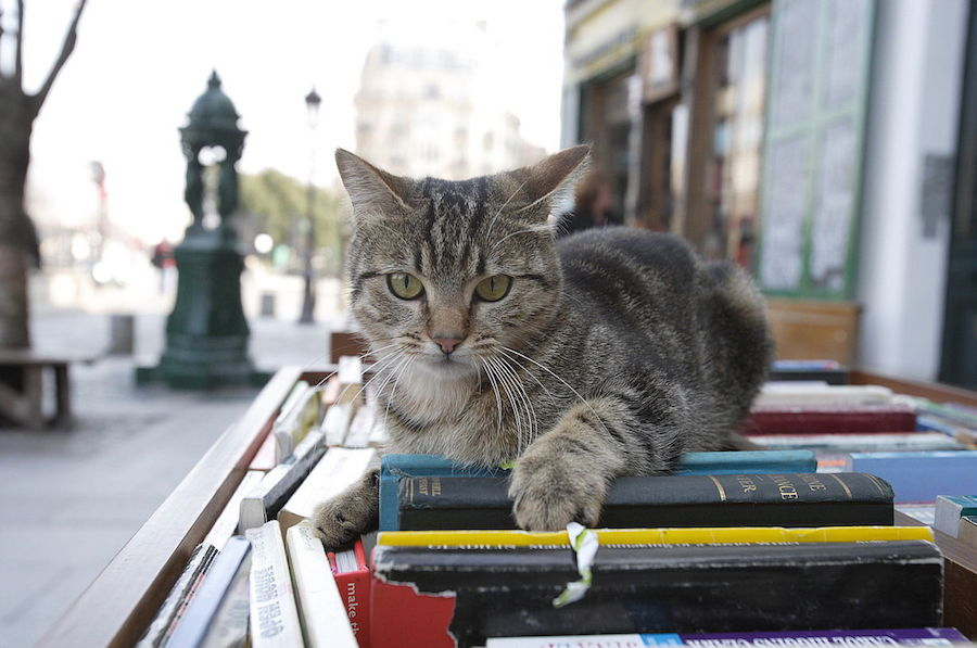 Why Do Cats Love Bookstores?