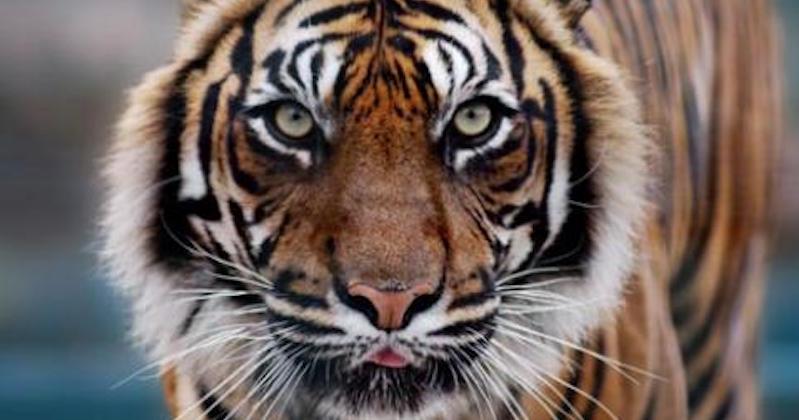 tiger champawat