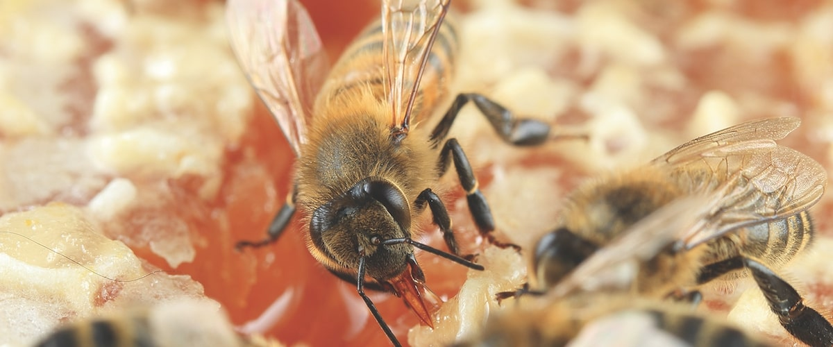 Who Were the Geniuses Who First Domesticated the Wild Honey