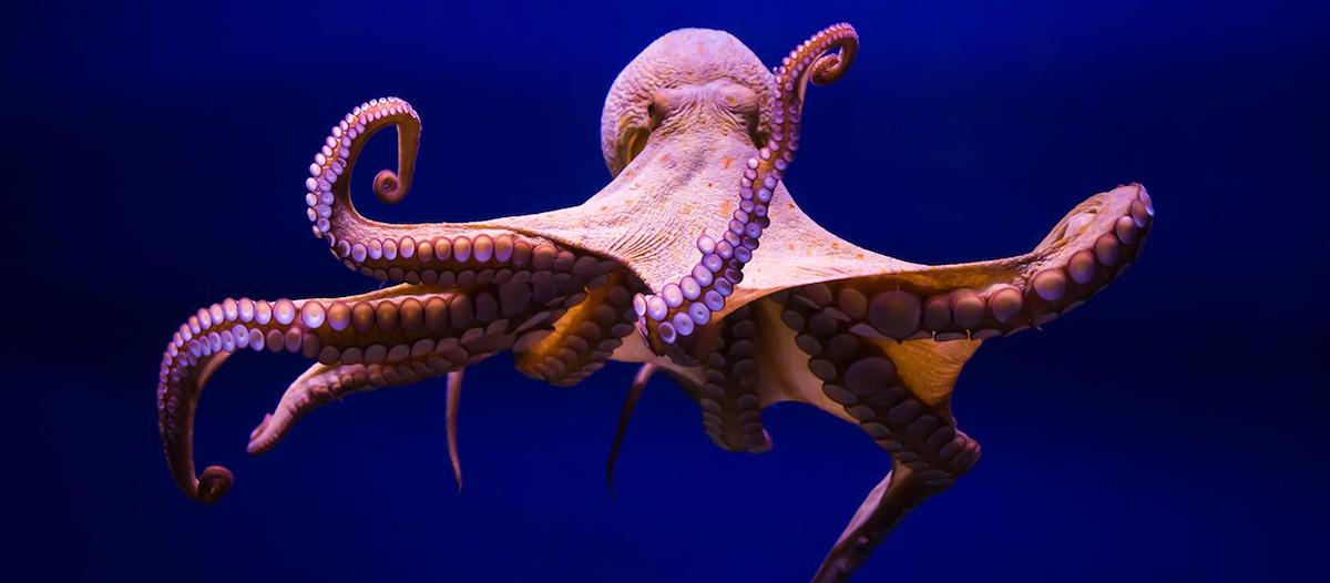 The Octopus: An Alien Among Us