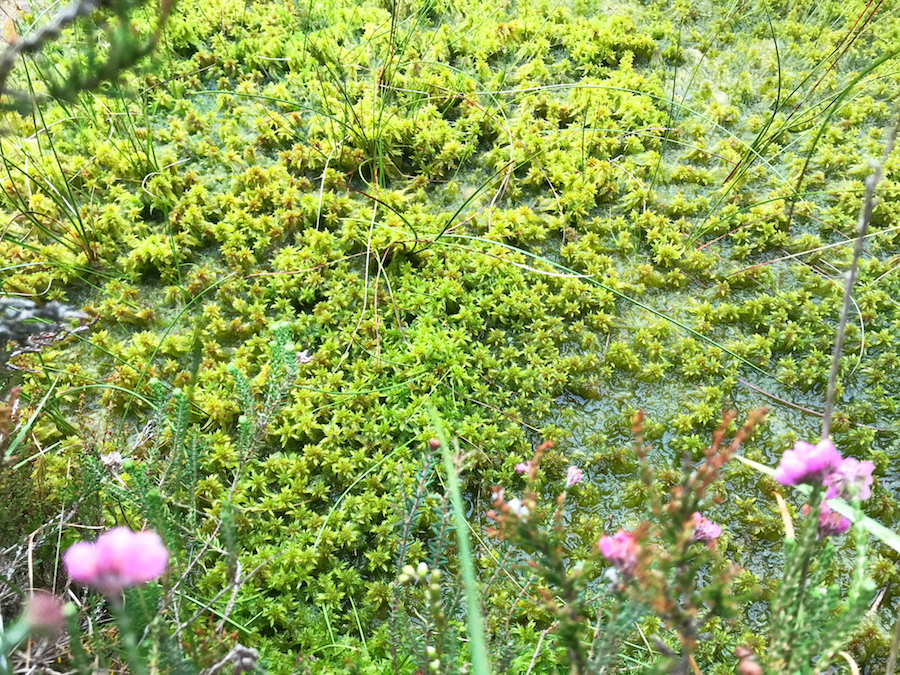 Ardee Bog. Sphagnum Moss. photo by Katie Holten