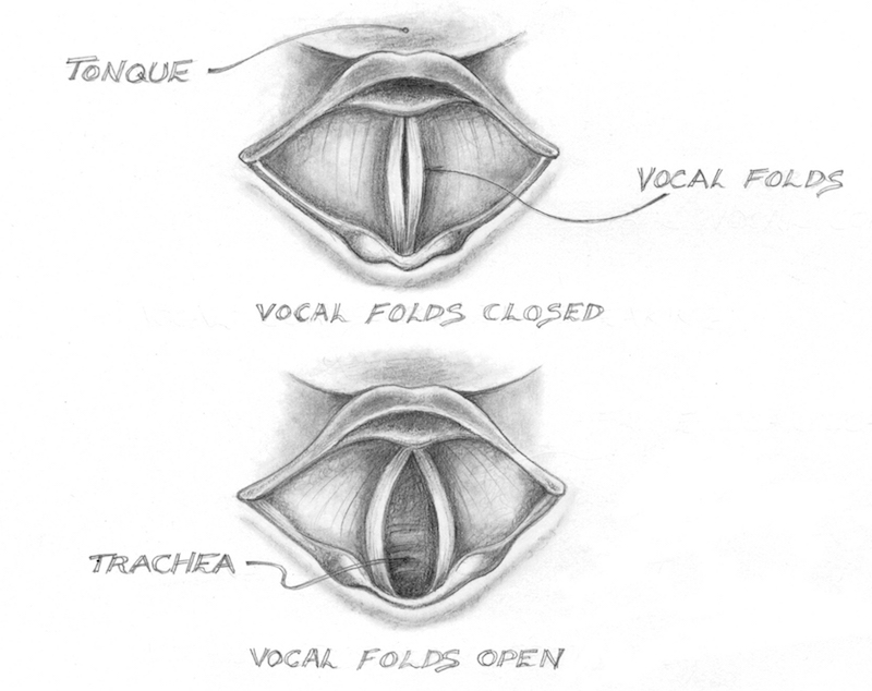 Cross section of larynx with vocal folds; Felix Byrne.